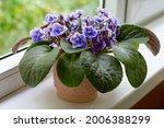 African Violet Flower...
