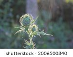 Thorny Thistle Flower Blooming...