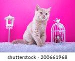 Stock photo beautiful stylish purebred british cat animal portrait purebred cat is lying pink background 200661968