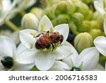 A Bee On A White Chincherinchee ...