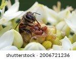 Bee On A White Chincherinchee...