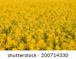 field of yellow rapeseed flowers at sunset - stock photo