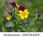 Burgundy Yellow Small Flowers...