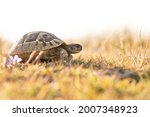 Small photo of Hermann's tortoise (Testudo hermanni), with beautiful green coloured background. Colorful tortoise on the ground near the sea. Wildlife scene from nature, Croatia