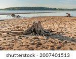Rotten Stumps Of Dead Trees On...