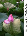 Pink Lotus in bud - stock photo