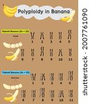 polyploidy in banana  which... | Shutterstock .eps vector #2007761090