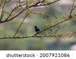 The Palestine sunbird (Cinnyris osea) preening its feathers