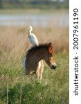Cattle Egret Perches On The...