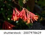 Weigela flowers in a beautiful...