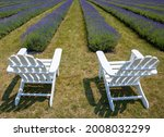 Rows of lavender are planted at a farm on Washington Island in Door County, Wisconsin.  The lavender is harvested, in early August and used in food, cosmetic, medicinal and a host of other products.