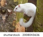 Albino Chipmunk Standing In A...