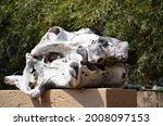 A Hippopotamus Skull In...