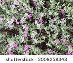 Flower  Ash Bush  Purple Sage ...