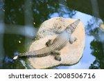 A Southeast Asian Crocodile Is...
