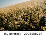 Blooming Yellow Rapeseed Field. ...