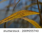 Close Up Of The Yellow Stem Of...