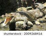A Crocodile Is Sunbathing On...