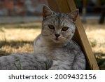 Scottish Cat Looking At Camera. ...