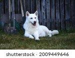 White haski dog sits and looks...