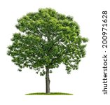 Isolated Chestnut Tree On A...