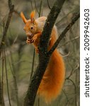 Red Squirrel Eats Nuts On The...