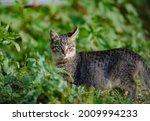 Cute Young Feral Cat In...