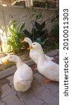 Ducks  Three Duck Friends ...