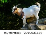 Colorful Goat Climbing Some...