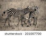zebra resting head on friend   Shutterstock . vector #201007700