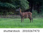 Female Red Deer  Cervus Elaphus ...