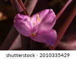 Purple Hear Tradescantia...