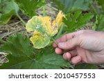 Sick Yellowed Cucurbitaceae...