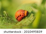 Colorado potato beetle larva on ...