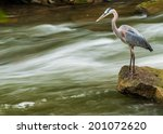 Great Blue Heron Fishing For...
