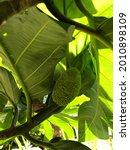 """Closeup Of Hawaiian """"ulu""""..."""