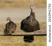 Wild Turkey Mother And Chick...