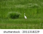 Ardea Alba. The Great Egret...