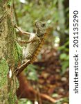 Small photo of Agamid lizard in a tropical rainforest