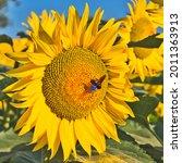 Single Bright Yellow Sunflower...