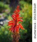 Fynbos Aloe  Mountain Aloe ...