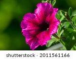 Bright Pink Flowers Of Penutia...