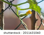 Young Melon Fruit  Fruiting Of...