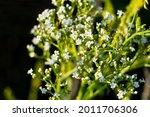 White Flowers Of Alyssum Begin...