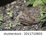 A Young Sparrow Fledgling...