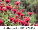 Scarlet Beebalm  Commonly Known ...