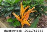 Orange Color Strelitzia Reginae ...