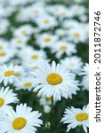 Small photo of Leucanthemum vulgare. Daisy flower background. Beautiful camomile Daisy flowers on blurred green background. Daisy is a flower of Asteraceae family. White beautiful daisies on a field in green grass