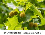Leaves And Fruits Of Platanus...
