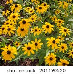 Black Eyed Susan Flowers In Th...
